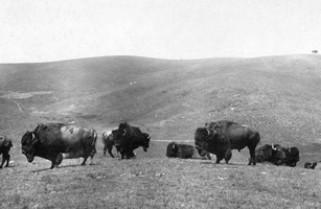 DVD: The Buffalo King