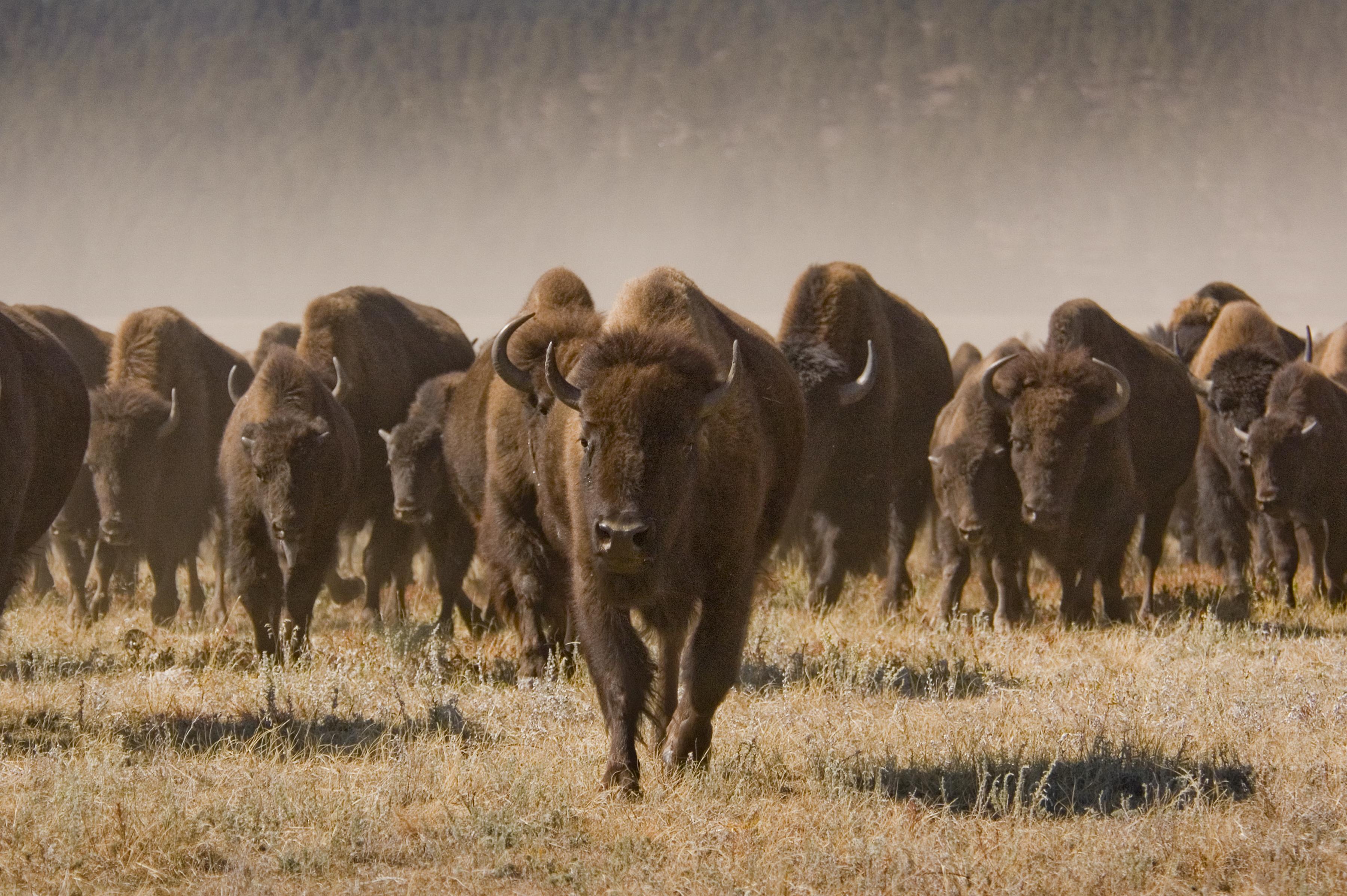 Tatanka Buffalo Roundup Spirit Of The West Magazine