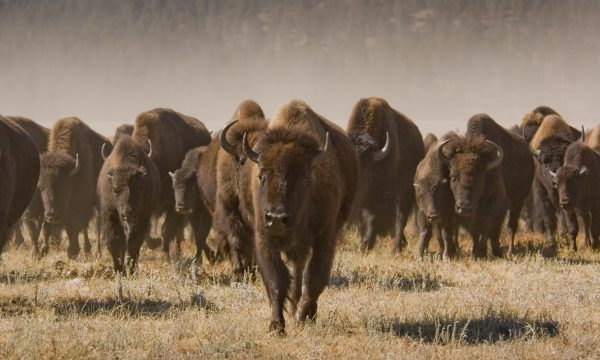 Tatanka – Buffalo Roundup